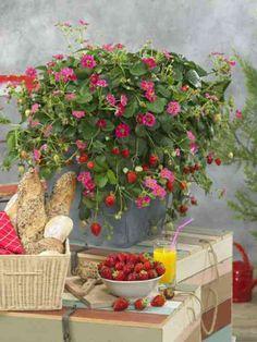 Une vue des fraisiers comme décoration pour la table à manger
