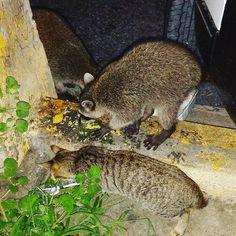 Solo para cerrar el capítulo del #mapache asesino de #Chiriqui. Este es un gato domestico al lado de un mapache igualito al que acusaron de querer devorarse al niño. Si ven no son tan grandes nada. Son oportunistas! No asesinos.