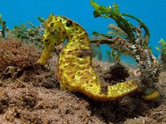 Seahorse found in south Maui waters, very rare.