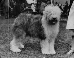 This ridiculous sheepdog, 1932 | 30 Cute Dog Photos From The'30s