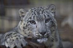 Penny Snow Leopard - San Diego Zoo