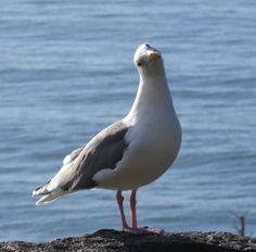 Seagull on the Oregon Coast
