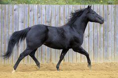Quarter Horse stallion Smooth Cool Cat