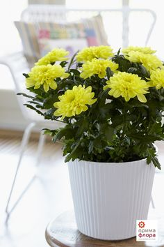Yellow Chrysanne® Spring mood Herbs, Mood, Yellow, Spring, Plants, Herb, Plant, Planting, Planets