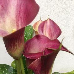 Zantedeschia albomaculata. #flowers #colors #nature #beauty #saturday #morning #purplered #shotoniphone #igersitalia #igersveneto #igerspadova
