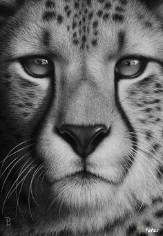 Pencil drawing - Leopard
