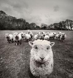 25 magnifiques photos de moutons   25 magnifiques photos de moutons en troupeau 25