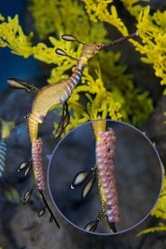 baby sea dragons