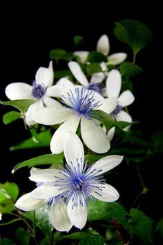 Perennial Vine Clematis Potted Garden Flowers Seeds ( not Clematis Bulbs ) 10 seeds/bag Balcony & Courtyard Terrace Bonsai Plant Clematis Plants, Clematis Flower, Clematis Vine, Flowers Perennials, Garden Plants, Planting Flowers, White Clematis, Potted Garden, Fruit Garden