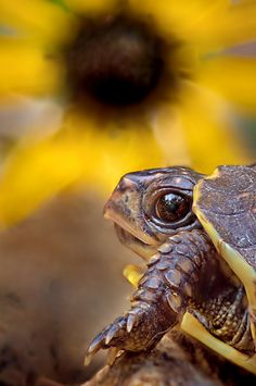 Who me! Eating the flowers? By: Robert Charity  Possibly the cutest #turtle photo I've seen.
