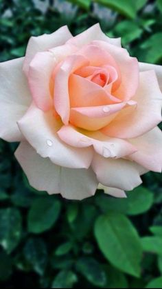 Beautiful Flowers Pictures, Beautiful Rose Flowers, Flower Pictures, Amazing Flowers, Pictures Of Roses, Flowers Dp, Flowers Background, Orchid Flowers, Flowers Nature