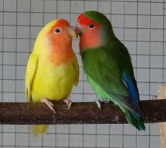 Peach-Faced Lovebirds ............... Lutino Variant on Left (Agapornis roseicollis var. lutino)
