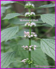 "Motherwort is truly a woman's herb.Perhaps, motherwort herb, most famously, because of her latin name ""cardiaca"", she is notable for her help with situations of high blood pressure, cardiac arrythmias and palpitations. Sometimes motherwort medicine can really help to increase poor circulation, in the cardiovascular system as well as peripheral circulation. (cold hands and feet) -"