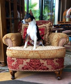 Rat Terriers are so elegant.