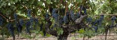 Grgich Hills Estate Premium Winery