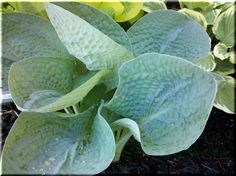 Hosta 'Love Spat', one of my favorites is Hosta 'Love Pat' and this is a streaked version it.  There aren't a lot of them out there.