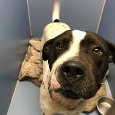 Kansas City, Missouri - American Pit Bull Terrier. Meet Looper, a for adoption. https://www.adoptapet.com/pet/19970125-kansas-city-missouri-american-pit-bull-terrier-mix