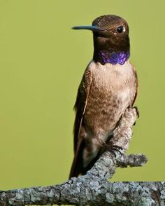 Black-chinned Hummingbird - Male;  Copyright © Jeff Wendorff