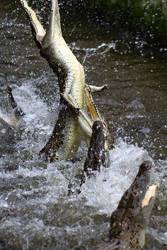 aligator's fight