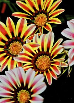 Gazania---these perennials grow all over Ramona. Absolutely love!