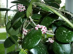 hoya plant | hoya obovata is another one on my top ten must have hoyas for living ...