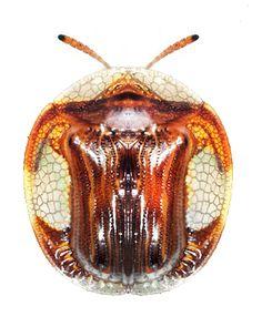 Charidotis vitreata