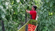 Image result for harvesting tomato