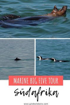 Eines der Highlights im Grootbos Private Nature Reserve in Südafrika ist die Marine Big Five Tour mit den großen 5 der Unterwasserwelt. Zu den Marine Big Five gehören folgende Tiere: Wale, Robben, Haie, Pinguine und Delfine. Grootbos Private Nature Reserve, ein wundervolles Luxusresort zwischen Kapstadt und der Garden Route. www.gindeslebens.com #MarineBigFive #BigFive #Südafrika #Robben #Wale #Delfine #Haie #Pinguine Tromso, Garden Route, Wale, Nature Reserve, Gin, Highlights, Tours, Poster, Travel