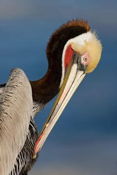 Brown Pelican by Christopher Dodds