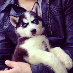 Sweet, blue-eyed Siberian Husky puppy face!