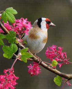 European Goldfinch(Carduelis carduelis)»by Frank Gardiner