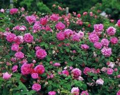 What Is An Old Garden Rose?