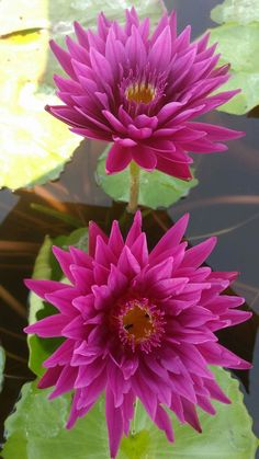 Beautiful Flower Quotes, Beautiful Flowers Wallpapers, Amazing Flowers, Container Water Gardens, Lotus Plant, Blue Lotus Flower, Bamboo Art, Pond Plants, Lily Pond