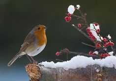 Robin red breast.