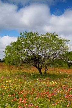 Mesquite Tree & Flowers, Atascosa County, Texas