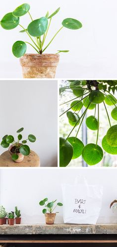 Chinese Money Plant aka Pilea peperomioides | photos by Bart Kiggen for All Items Loaded
