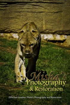 The Lioness is the hunter.... Love the power shown here. Panther, Originals, Restoration, Photography, Animals, Photograph, Animales, Animaux, Panthers