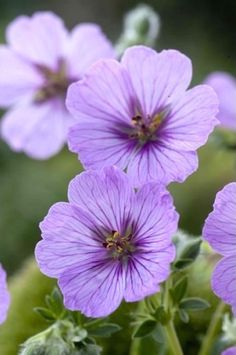Ashy Cranesbill 'Sophie' (Geranium cinereum) All Plants, Garden Plants, Purple Flowers, Beautiful Flowers, Hardy Geranium, Cactus Plante, Hardy Perennials, Botanical Flowers, Flower Pictures