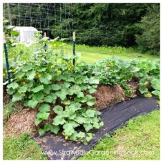 Straw Bale Garden Setup On A Lawn & Placed On Weed Mat... | http://www.strawbalegardeningbook.com/inspiration/grow-anywhere/