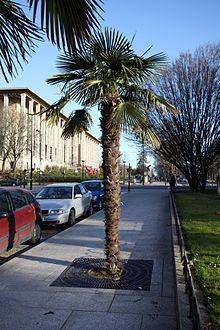 Un palmier à chanvre cultivé à Paris. Trachycarpus fortunei — Wikipédia