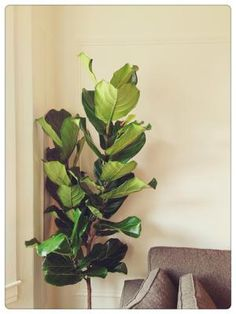 How to Care for Your Fiddle Leaf Fig: Ficus lyrata, or fiddle-leaf fig, often grow as narrow columns, with very large and distinctive leaves.
