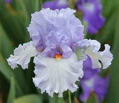 TB Iris germanica 'Blue Rising' (Blyth, 2010)