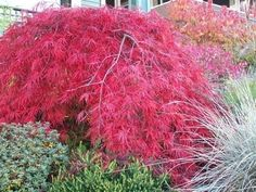 Red Leaf Bush Hedge | final Burning bush photo, shows the stunning red leaves behind a ...