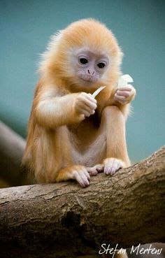 Beautiful petit singe mignon - engaged in a very 'human' endeavor Cute Creatures, Beautiful Creatures, Animals Beautiful, Beautiful Babies, Beautiful Things, Nature Animals, Animals And Pets, Animals Images, Wild Animals