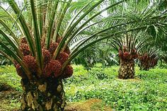 Palm progress: Malaysia is at the forefront of sustainable palm oil production, said Malaysian Palm Oil Council chairman Datuk Lee Yeow Chor. Fruit Plants, Fruit Trees, Palm Trees, Sustainable Farming, Sustainability, Agriculture, Red Palm Oil, Oil Industry, Lots Of Money