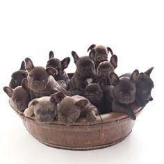 French Bulldog Puppy Cuteness overload ❤❤❤ @drew_dogs
