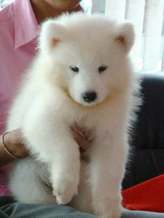 simoid dogs | Samoyed puppies for sale FOR SALE ADOPTION from Penang Prai @ Adpost ...
