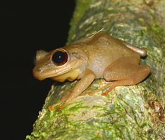 Caribbean Frog