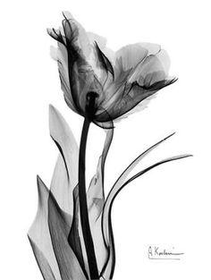 Single Tulip in BandW