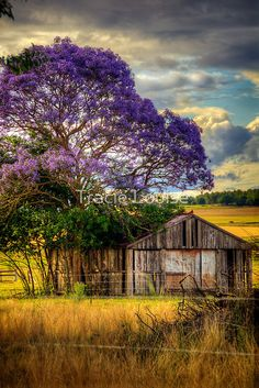 Barn under Jacaranda Tree